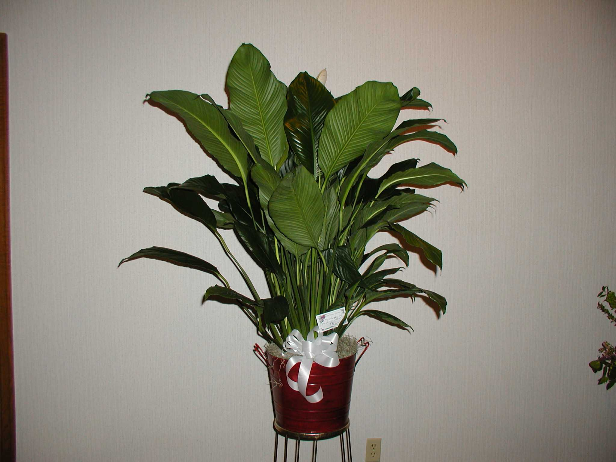 Bouquets peace lily in a great big red bucket izmirmasajfo